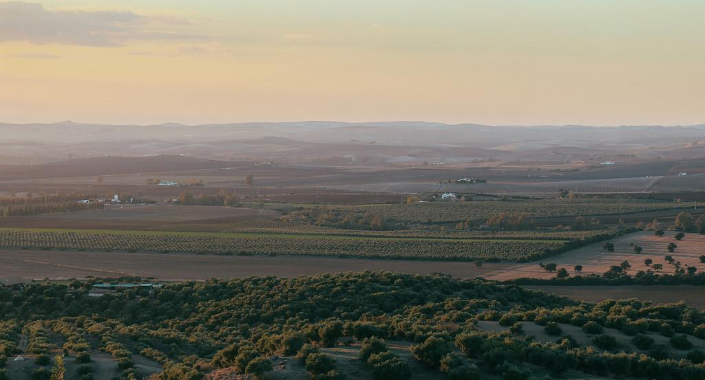 Olīvu lauki